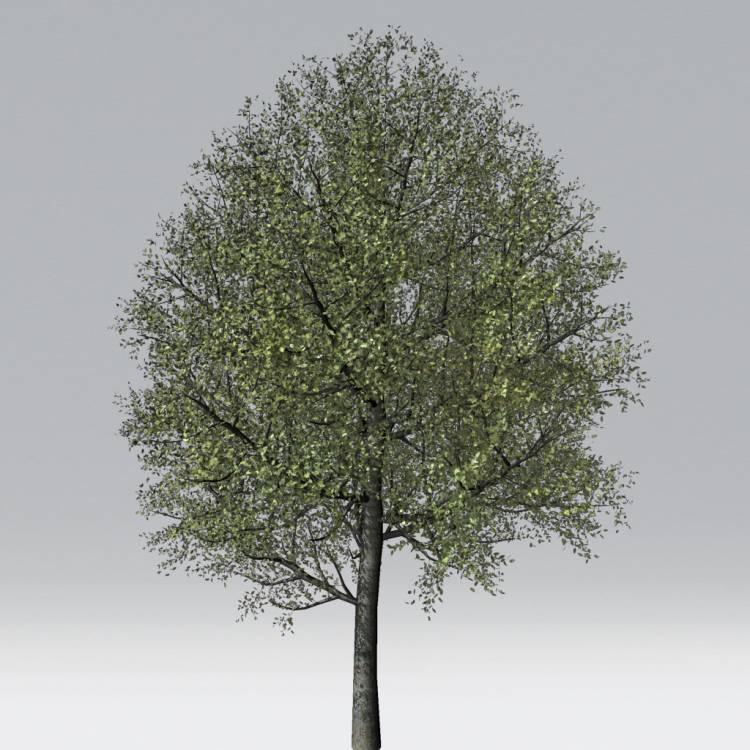 fpp-lib-2d-trees-holm_oak.jpg