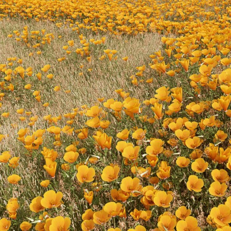 fpp-lib-presets-meadows-california_poppy_large.jpg