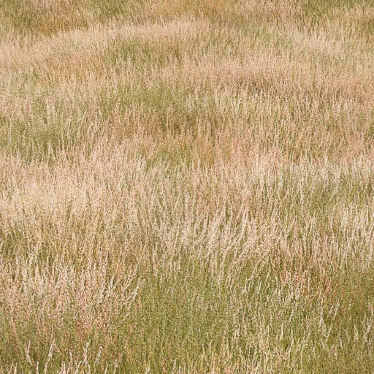 fpp-lib-presets-meadows-red_fescue_large.jpg