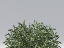 fpp-lib-2d-shrubs-wintergreen_barberry.jpg