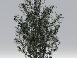 fpp-lib-2d-trees-gray_birch.jpg