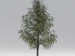 fpp-lib-2d-trees-silver_birch.jpg