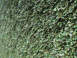 fpp-lib-presets-green-walls-grape_ivy_xy.jpg