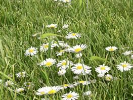 fpp-lib-presets-lawns-daisy_01_detail.jpg