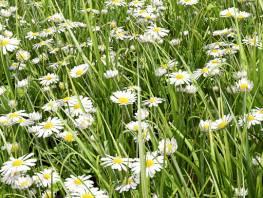 fpp-lib-presets-lawns-daisy_02_detail.jpg