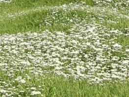 fpp-lib-presets-lawns-daisy_02_large.jpg