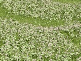 fpp-lib-presets-lawns-white_clover_02_large.jpg