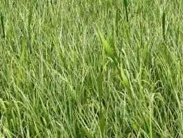 fpp-lib-presets-lawns-wild_grass_02_detail.jpg