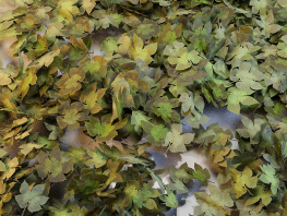 fpp-lib-presets-leaves-parthenocissus_large.png