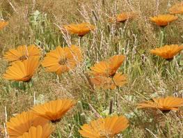 fpp-lib-presets-meadows-african_daisy_detail.jpg