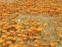 fpp-lib-presets-meadows-african_daisy_large.jpg