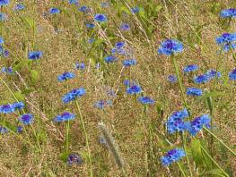 fpp-lib-presets-meadows-blue_cornflower_detail.jpg