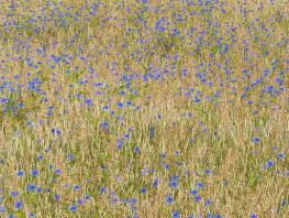 fpp-lib-presets-meadows-blue_cornflower_large.jpg