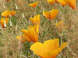 fpp-lib-presets-meadows-california_poppy_detail.jpg