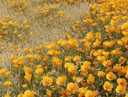 fpp-lib-presets-meadows-california_poppy_large.jpg