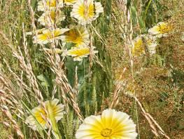 fpp-lib-presets-meadows-corn_marigold_detail.jpg