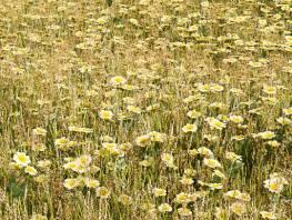 fpp-lib-presets-meadows-corn_marigold_large.jpg