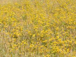 fpp-lib-presets-meadows-golden_tickseed_large.jpg