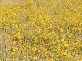 fpp-lib-presets-meadows-golden_tickseed_large.jpg