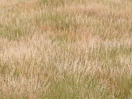 fpp-lib-presets-meadows-red_fescue_large.jpg