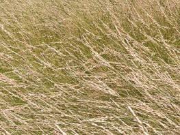 fpp-lib-presets-meadows-red_fescue_windswept_detail.jpg