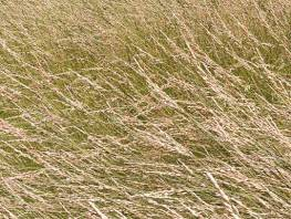 fpp-lib-presets-meadows-red_fescue_windswept_detail.jpg