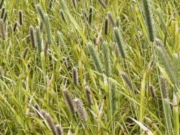 fpp-lib-presets-meadows-smaller_cats_tail_detail.jpg